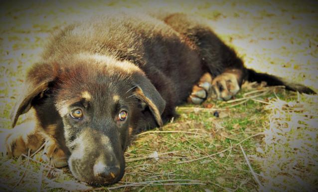Dog Mom Project - Sawyer